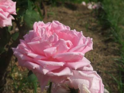 バラ一輪,ピンク (10)