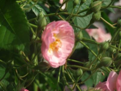 バラ一輪,ピンク (2)