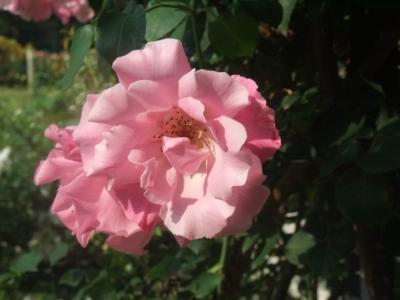 バラ一輪,ピンク (3)