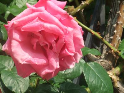 バラ一輪,ピンク (4)