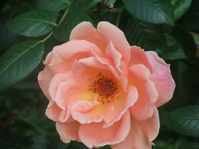 バラ一輪,ピンク (5)