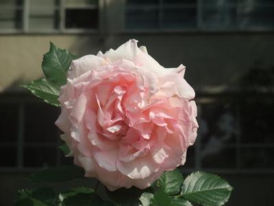 バラ一輪,ピンク (8)