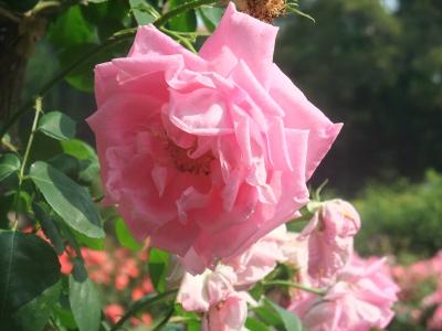 バラ一輪,ピンク