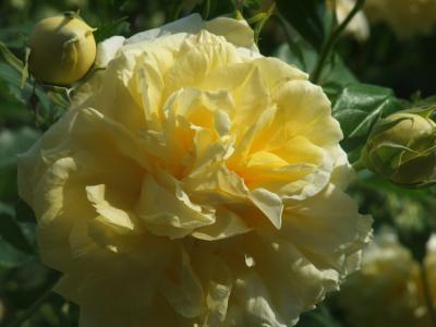バラ一輪,黄色 (3)