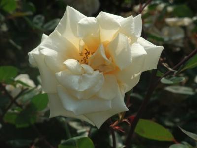 バラ一輪,黄色 (4)