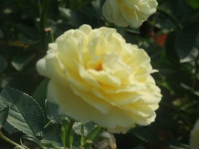 バラ一輪,黄色 (5)