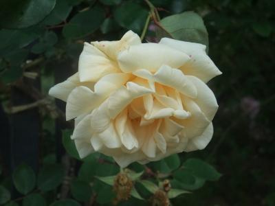 バラ一輪,黄色 (6)