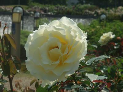 バラ一輪,黄色 (7)