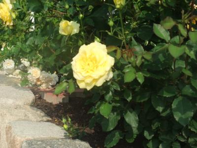 バラ一輪,黄色